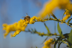 Our Bee Neighbours / In Communa | Fall, 2018 (mikee.wilczek) Tags: deer nature wild flowers fields autumn fall warm sunny sky land flower green red sundown fog family wildflower sigma 150600mm contemporary canon 6d wildlife