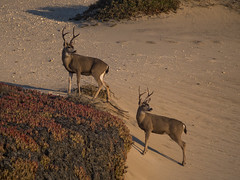 Beach Deer (ToxicTabasco) Tags: deer pacificcoasthighway pch bigsur