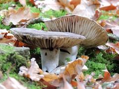 Can't ignore it anymore, it's autumn (Shahrazad26) Tags: landgoedclingendael clingendael denhaag sgravenhage thehague lahaye nederland holland zuidholland paysbas thenetherlands paddenstoelen mushrooms herfst automne autumn najaar