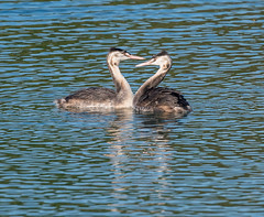 The Chase G C Grebes