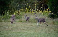 We are family. (Kreative Capture) Tags: deer whitetail texas fawn doe buck maximillion sunflowers graze nature naturephotography outdoor family nikkor nikon plants outside october autumn