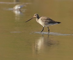 I Didn't See That Coming (Slow Turning) Tags: limosahaemastica hudsoniangodwit wadingbird migrant migrating foraging feeding forage water mud bay autumn fall southernontario canada