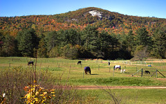 Amazing Graze (Angel_Photos) Tags: whitemountains mountains kancamangus highway horses fall foliage autumn colors grazing cliff face forest trees pasture nh newhampshire scenic fall2018 baum nature landscape white orange