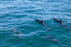 IMG_2375.jpg (whaler.of.the.moon) Tags: dolphin napali kauai