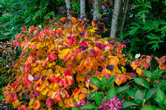 Battleston Fothergilla (Stephen Reed) Tags: rhswisley autumn plants surrey england naturalbeauty nikon d7000 lightroomcc