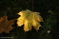 Fall At It's Best (jimgspokane) Tags: autumn fall spokanewashingtonstate mapleleaf naturewatcher today´sbest