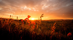 The Fields of Keteketerau (ajecaldwell11) Tags: xe3 hawkesbay newzealand sunset napier flowers poppies clouds sky dusk ankh caldwell fujifilm light