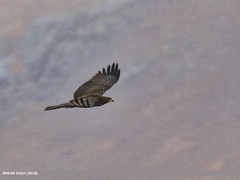 Oriental Honey Buzzard (Pernis ptilorhynchus) (gilgit2) Tags: avifauna birds canon canoneos7dmarkii category deosai fauna feathers geotagged gilgitbaltistan imranshah location orientalhoneybuzzardpernisptilorhynchus pakistan skardu species tags tamron tamronsp150600mmf563divcusd wildlife wings gilgit2 pernisptilorhynchus
