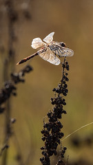 Soooo Shiny (Old as you feel, Fujinite) Tags: dragonfly yolobypass california fuji fujifilm fujinon xt3 100400 closeup macro depthoffield dof bokeh insect outdoor nature bug wings