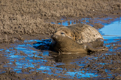 Seals at donna nook (Andy barclay) Tags: seals seal puppy beach sand grass coast seaside nature wildlife wild animal trust sanctuary pup donnanook donna nook bombing range raf saltfleet lincolnshire nikon tamron 70300mm d7100 tourist busy dayout cute season autumn winter cold sunny