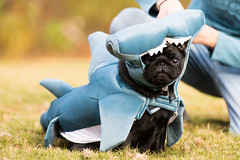 _DSC1693.jpg (zane.hollingsworth) Tags: 200mm 200mm35eqv f28 shark halloween pug 1400ss iso250 edgar