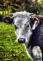 Calf closeup (jsleighton) Tags: cow calf closeup animal farm