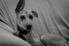 El reposo (gabrielromeroplana) Tags: tanja reposo perro dog retratocanino portrait blanco negro bn black white monochromatic bw sony a6000 nikon 50mm 18