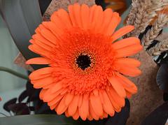 Transvaal Daisy (Gerbera) (Seventh Heaven Photography **) Tags: 130th shrewsbury flower show shropshire nikon d3200 flowers blooms flora gerbera transvaal daisy orange