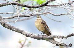 Pedreiro-do-espinhaço (Cinclodes espinhacensis)_0114 FF (Wptjunior) Tags: photograph photo fotografia foto nikon nature natureza aves amazing ave
