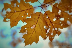 Blattgold (grafenhans) Tags: sony alpha 68 alpha68 a68 tamron 2590 makro macro laub blatt ahorn herbst autumn licht light grafenwald bottrop nrw bokeh