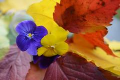 мы осени не ждем, не говорим ей здравствуй,она добра,она прекрасна, мы входим в осень сердцем поутру, кружимся в танце листьев на ветру. .. (Angelok-Happy) Tags: осеннийнатюрморт осень сентябрь палитракрасок природа