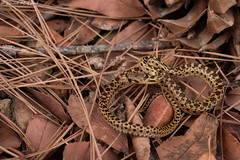 Pacific Gophersnake (Pituophis catenifer catenifer) (Chad M. Lane) Tags: wildlife wildlifephotography wild explore exploring explorer enjoy reptiles reptile r1kit travel yellow yellowandblack outdoors animals animal snakes snake d810 fieldherping fullframe flashphotography flash fx greatoutdoors herps herping herp herpers herpetology love lighting leaves leaf life california californiawildlife californiaherps coastalcalifornia beautiful nikon nature nikond810 naturephotography nikkor macro macrophotography mothernature micro conservation ecology biology pacificgophersnake pituophiscatenifer solanocounty