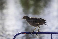Balancing act (tootdood) Tags: canon6dmkii newislingtonmarina manchester rochdale canal wet water reflection moorhen rail balancing act
