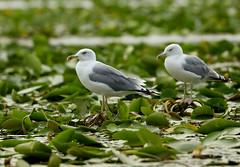 Yellow-legged Gull----Larus michahellis (creaturesnapper) Tags: birds europe danubedelta romania waterbirds gulls seabirds yellowleggedgull larusmichahellis