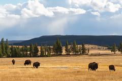 2018-09-trip-3-yellowstone-4-wildlife-mjl-14 (Mike Legeros) Tags: wyoming yellowstone nationalpark bison bisonjam buffaloroam
