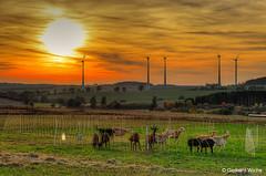 Evening sun in autumn (GerWi) Tags: sunset goats ziegen natur weiden gras himmel sky sun sonne wolken