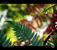Fernlights (tomraven) Tags: fern ferns light ferntree bokeh patterns abstract tomraven aravenimage nature q42018 olympus em5