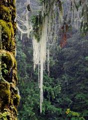 in the rainforest (blacky_hs) Tags: rainforest vancouver island regenwald moos schooner trail pacific rim longbeach tofino ucluelet