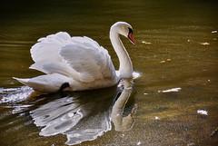 White Swan (simson60) Tags: schwan wasser animalplanet animal swan spiegelung