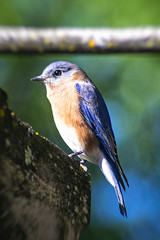 Eastern Bluebird (TCeMedia/Telecide) Tags: easter bluebird bird budgy circle pines minnesota