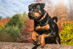 Picture of the Day (Keshet Kennels & Rescue) Tags: rescue kennel kennels adoption dog ottawa ontario canada keshet large breed dogs animal animals pet pets field tree forest nature photography rottweiler jump leap action log sport fast autumn fall sun sunny sunshine colours