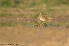 Meadow pipit (Matt Hazleton) Tags: bird wildlife nature animal outdoor canon canoneos7dmk2 canon100400mm 100400mm 7dmk2 eos matthazleton matthazphoto northamptonshire meadowpipit pipit