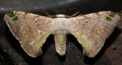 moth (Birdernaturalist) Tags: bolivia bombycidae lepidoptera moth richhoyer