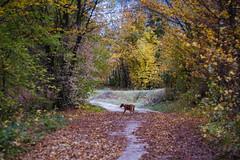 Stella (bluishgreen12) Tags: dog forest road autumn autumncolours trees vintagelensmamiyasekor55mmf18 vintagelens autumnleaves vintageprime