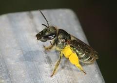 Grooming session (Jenny Thynne) Tags: bee australiannativebee pollinator flower brisbane queensland australia hymenoptera lipotrichesaustronomiaflavoviridis