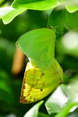 遷粉蝶 銀紋淡黃蝶 Lemon Emigrant Catopsilia pomona pomona