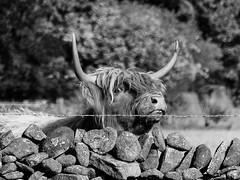 SF26 (tubblesnap) Tags: highland cattle cow cows coos calf calves hellifield beef cute farm birthday treat lightroom panasonic lumix furry cuddly yorkshire dales ginger