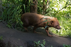 Boshond - Bush dog (Den Batter) Tags: nikon d7200 zooparc overloon boshond bushdog speothosvenaticus