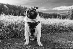 Faithful pug (wketsch) Tags: at morning graz sunset zeiss pug sony pet autumn mariatrost