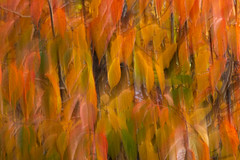 Autumn Leaves (ICM) (andythomas390) Tags: leaves nikon tree nature icm autumn orange 18200mm d7200 intentional camera movement intentionalcameramovement