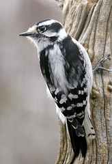 _A992076 (mbisgrove) Tags: downy a99m2 woodpecker bird