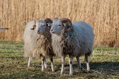 Mäh - heute ist der zweite Advent (Sockenhummel) Tags: britzergarten park schaf sheep schafe grünberlin wiese tiere herbst fuji xt10 zwei paar two zwillinge twins berlin