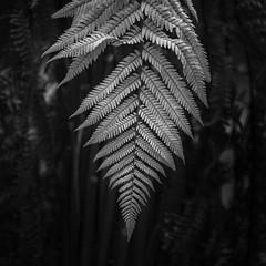 Fern Revealing (Ger208k) Tags: ireland kerry kellsgardens nature landscape ferns leaves blackwhite greyscale gerardmcgrath