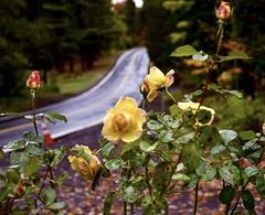 Autumn Rose (paulaliimatta) Tags: road leaves autumn roses
