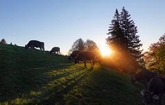 00868 Sonnenaufgang (Fotomouse) Tags: fotomouse margrit sonnenaufgang landschaft landscape natur nature bäume tannen himmel sky kühe sonne sonnenschein