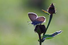 Semi-Argus, Demi-Argus (-Dop-) Tags: lycaenidae bolland liège belgique cyanirissemiargus