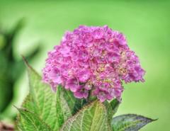 hydrangea (watchfuleyephoto) Tags: flower flowers flora nature hydrangea