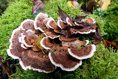 Turkeytail (Chalto!) Tags: franchiseslodge rspb wiltshire newforest mushroom fungus fungi toadstool