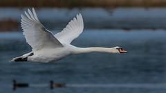 Mute Swan (adult) (Kevin E Fox) Tags: muteswan swan bombayhookwildliferefuge bombayhook delaware bird birding birdwatching birds sigma150600sport sigma nature nikond500 nikon