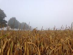 Goldene Ernte? ([klauspeter]) Tags: maize mist corn mais scheesel morning maisfeld 2018 herbst fog nebel ernte harvest autumn september